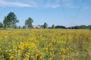 A meadow of yellow flowers and tall green grass