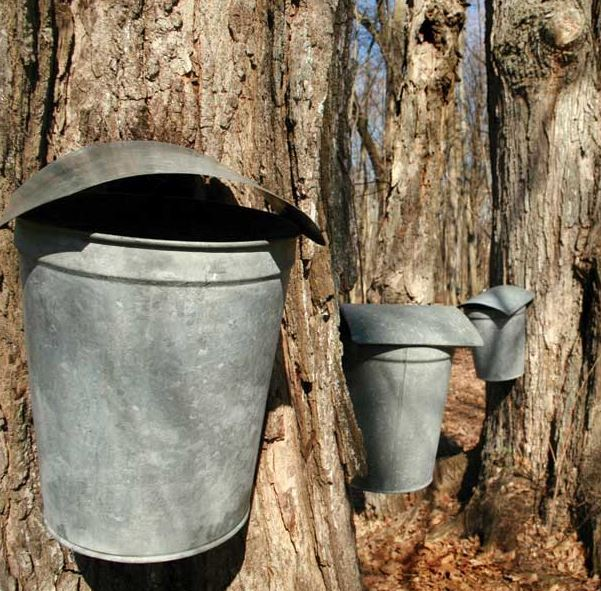 maple-syrup-tapping
